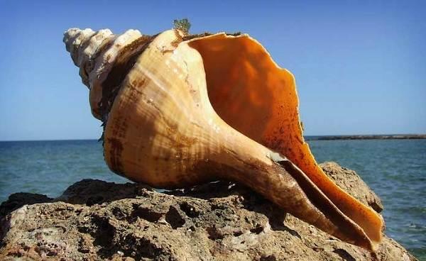 Трубач-моллюск-Описание-особенности-виды-образ-жизни-и-среда-обитания-трубача-7