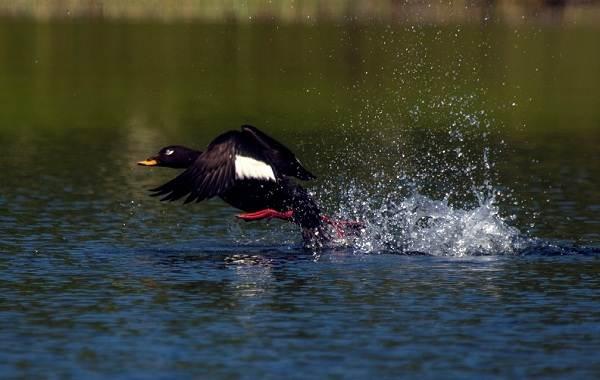 Турпан-птица-Описание-особенности-виды-образ-жизни-и-среда-обитания-турпана-10