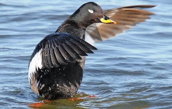 Турпан-птица-Описание-особенности-виды-образ-жизни-и-среда-обитания-турпана-12