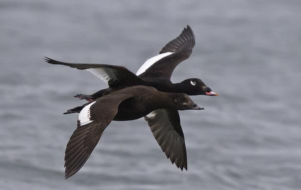 Турпан-птица-Описание-особенности-виды-образ-жизни-и-среда-обитания-турпана-14