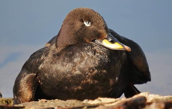 Турпан-птица-Описание-особенности-виды-образ-жизни-и-среда-обитания-турпана-3