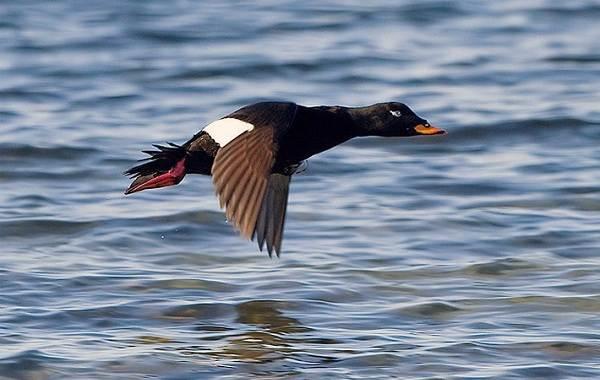 Турпан-птица-Описание-особенности-виды-образ-жизни-и-среда-обитания-турпана-4