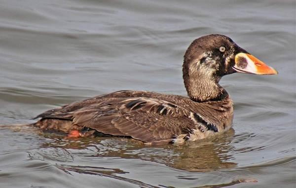 Турпан-птица-Описание-особенности-виды-образ-жизни-и-среда-обитания-турпана-7