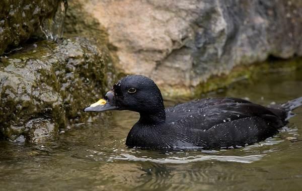 Турпан-птица-Описание-особенности-виды-образ-жизни-и-среда-обитания-турпана-8