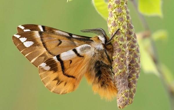 Тутовый-шелкопряд-насекомое-Описание-особенности-виды-и-среда-обитания-шелкопряда-10