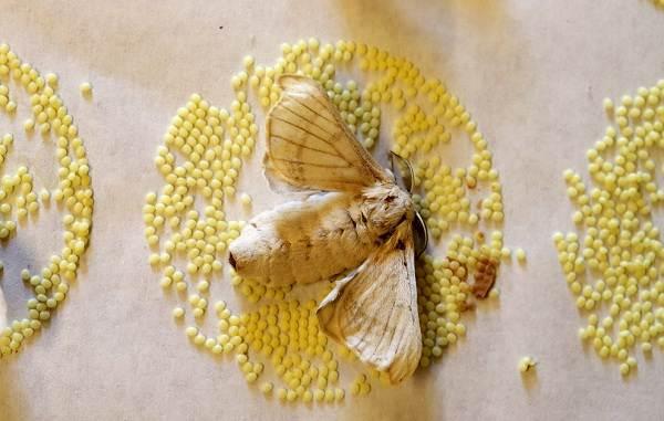 Тутовый-шелкопряд-насекомое-Описание-особенности-виды-и-среда-обитания-шелкопряда-15