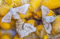 Тутовый шелкопряд насекомое. Описание, особенности, виды и среда обитания шелкопряда