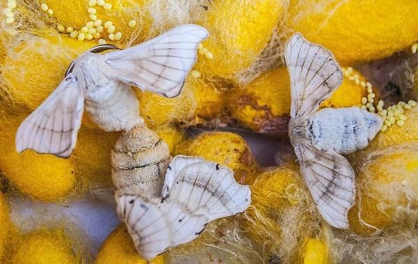 Тутовый-шелкопряд-насекомое-Описание-особенности-виды-и-среда-обитания-шелкопряда-2