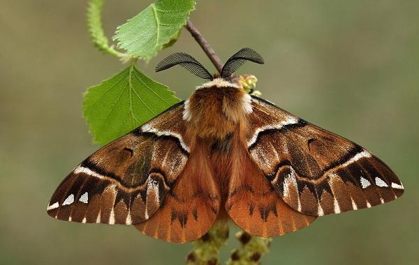 Тутовый-шелкопряд-насекомое-Описание-особенности-виды-и-среда-обитания-шелкопряда-21