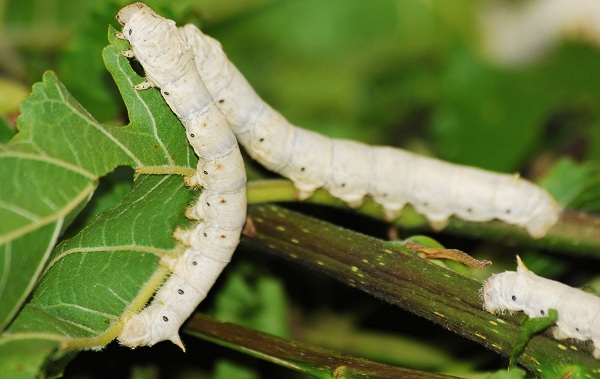 Тутовый-шелкопряд-насекомое-Описание-особенности-виды-и-среда-обитания-шелкопряда-25