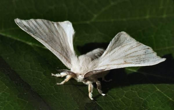 Тутовый-шелкопряд-насекомое-Описание-особенности-виды-и-среда-обитания-шелкопряда-3