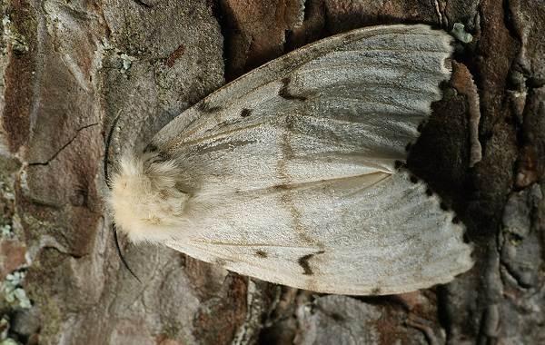 Тутовый-шелкопряд-насекомое-Описание-особенности-виды-и-среда-обитания-шелкопряда-4