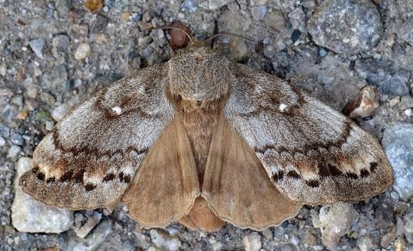 Тутовый-шелкопряд-насекомое-Описание-особенности-виды-и-среда-обитания-шелкопряда-5