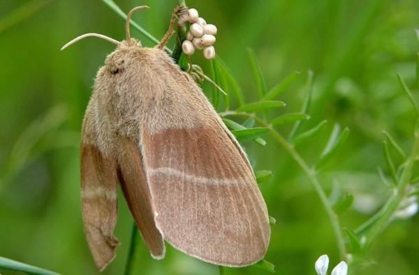 Тутовый-шелкопряд-насекомое-Описание-особенности-виды-и-среда-обитания-шелкопряда-6