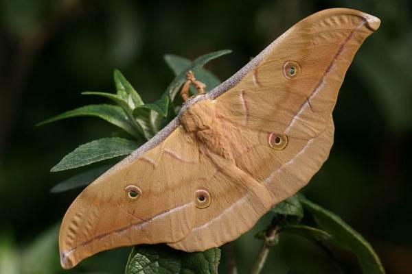 Тутовый-шелкопряд-насекомое-Описание-особенности-виды-и-среда-обитания-шелкопряда-8