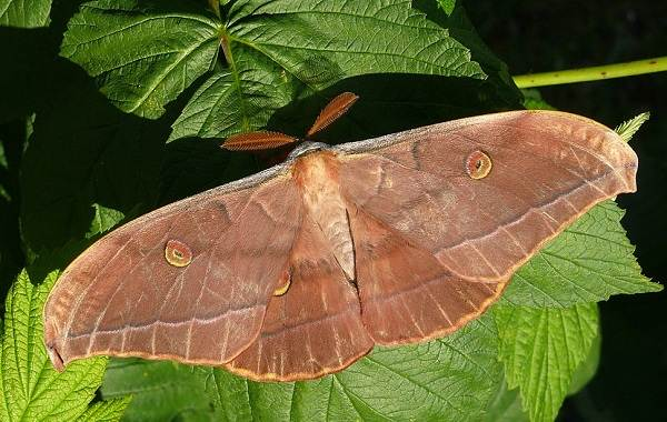 Тутовый-шелкопряд-насекомое-Описание-особенности-виды-и-среда-обитания-шелкопряда-9