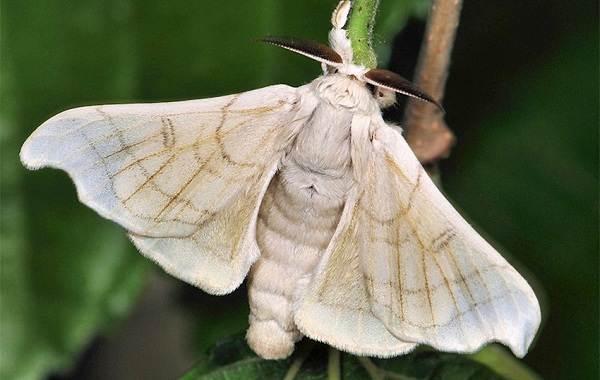 Тутовый-шелкопряд-насекомое-Описание-особенности-виды-и-среда-обитания-шелкопряда