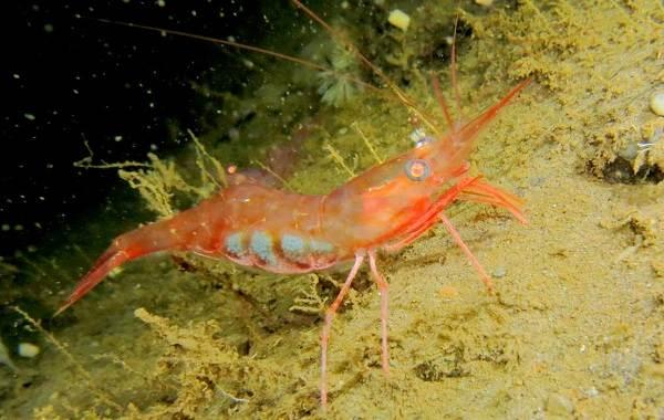 Углохвостая-креветка-Описание-особенности-виды-образ-жизни-и-среда-обитания-креветки-10