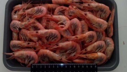 Углохвостая креветка. Описание, особенности, виды, образ жизни и среда обитания креветки