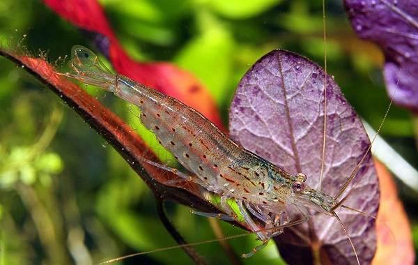 Углохвостая-креветка-Описание-особенности-виды-образ-жизни-и-среда-обитания-креветки-5
