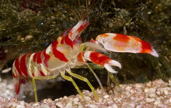Углохвостая-креветка-Описание-особенности-виды-образ-жизни-и-среда-обитания-креветки-6