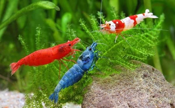 Углохвостая-креветка-Описание-особенности-виды-образ-жизни-и-среда-обитания-креветки-8