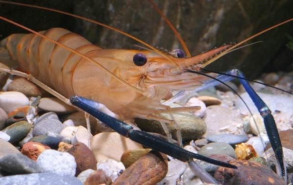 Углохвостая-креветка-Описание-особенности-виды-образ-жизни-и-среда-обитания-креветки