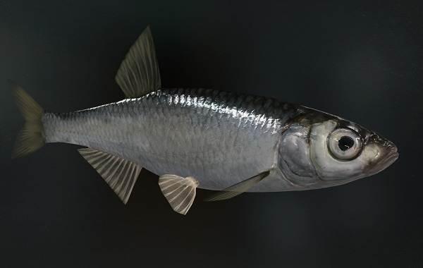 Уклейка-рыба-Описание-особенности-виды-образ-жизни-и-среда-обитания-уклейки-12