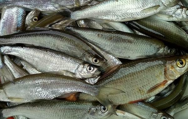Уклейка-рыба-Описание-особенности-виды-образ-жизни-и-среда-обитания-уклейки-14