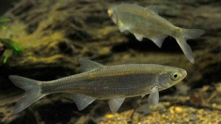 Уклейка рыба. Описание, особенности, виды, образ жизни и среда обитания уклейки