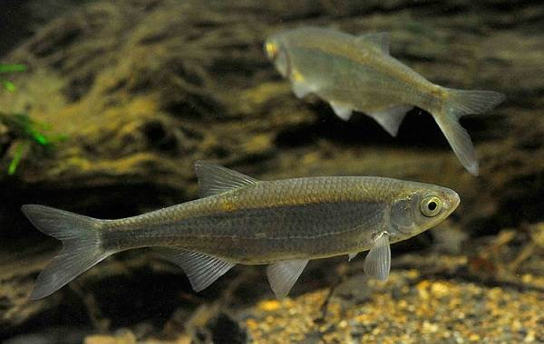 Уклейка-рыба-Описание-особенности-виды-образ-жизни-и-среда-обитания-уклейки-2