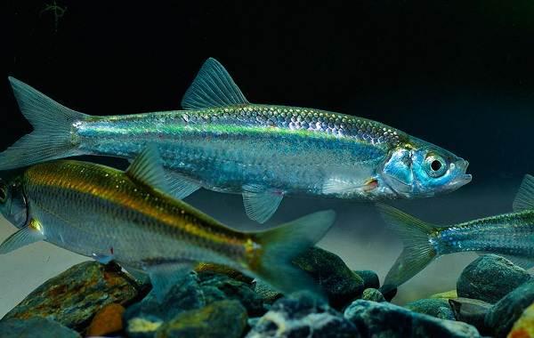 Уклейка-рыба-Описание-особенности-виды-образ-жизни-и-среда-обитания-уклейки-3