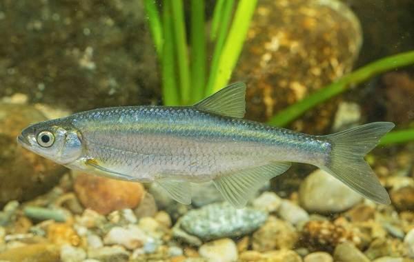 Уклейка-рыба-Описание-особенности-виды-образ-жизни-и-среда-обитания-уклейки-4