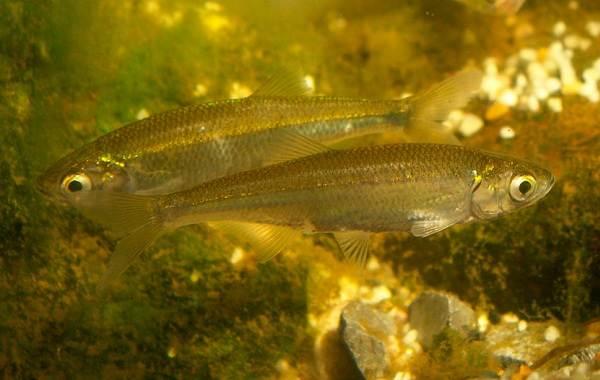 Уклейка-рыба-Описание-особенности-виды-образ-жизни-и-среда-обитания-уклейки-5