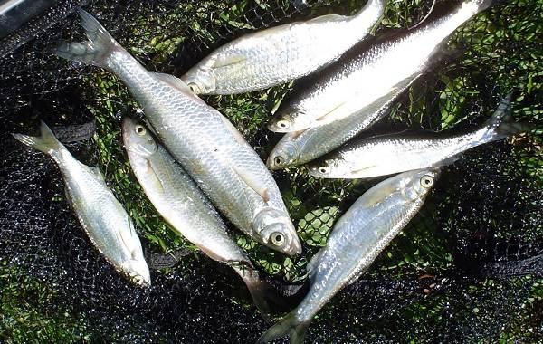Уклейка-рыба-Описание-особенности-виды-образ-жизни-и-среда-обитания-уклейки-8