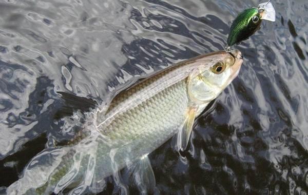 Уклейка-рыба-Описание-особенности-виды-образ-жизни-и-среда-обитания-уклейки-9