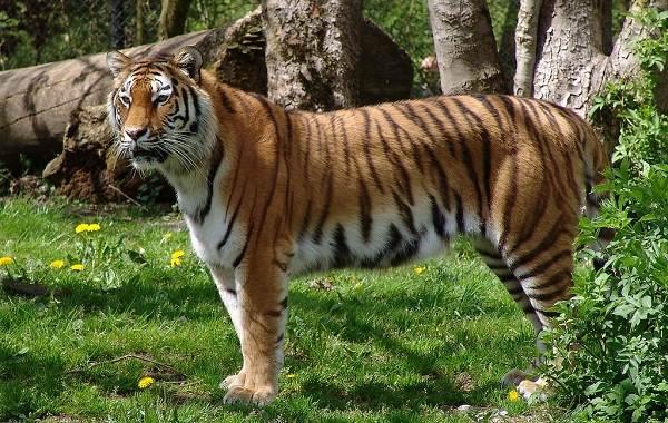 Уссурийский-тигр-Описание-особенности-образ-жизни-и-среда-обитания-хищника-1
