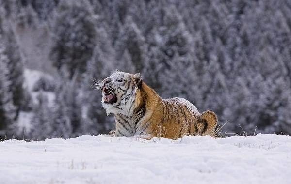 Уссурийский-тигр-Описание-особенности-образ-жизни-и-среда-обитания-хищника-10