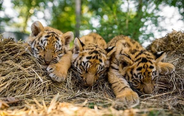 Уссурийский-тигр-Описание-особенности-образ-жизни-и-среда-обитания-хищника-12