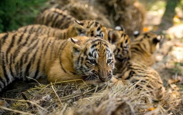 Уссурийский-тигр-Описание-особенности-образ-жизни-и-среда-обитания-хищника-14