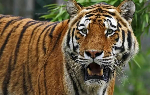 Уссурийский-тигр-Описание-особенности-образ-жизни-и-среда-обитания-хищника-2