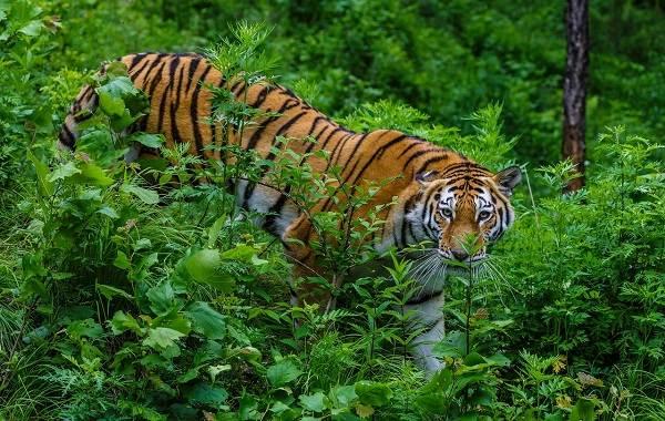 Уссурийский-тигр-Описание-особенности-образ-жизни-и-среда-обитания-хищника-3