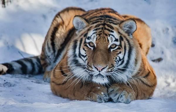 Уссурийский-тигр-Описание-особенности-образ-жизни-и-среда-обитания-хищника-4