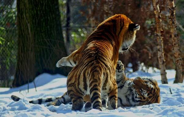 Уссурийский-тигр-Описание-особенности-образ-жизни-и-среда-обитания-хищника-5