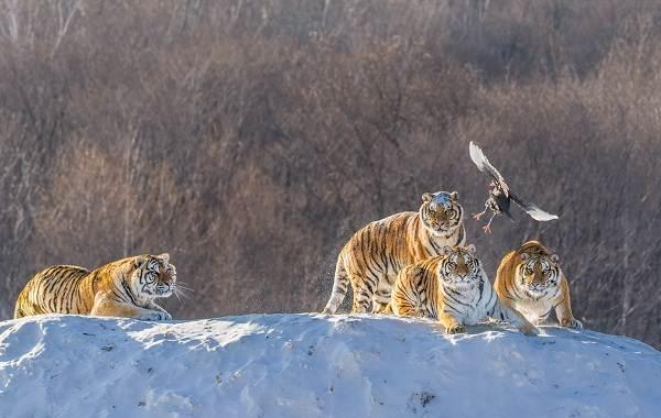 Уссурийский-тигр-Описание-особенности-образ-жизни-и-среда-обитания-хищника-7