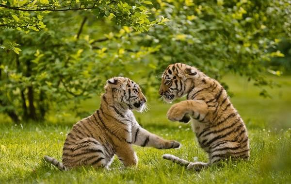 Уссурийский-тигр-Описание-особенности-образ-жизни-и-среда-обитания-хищника-8