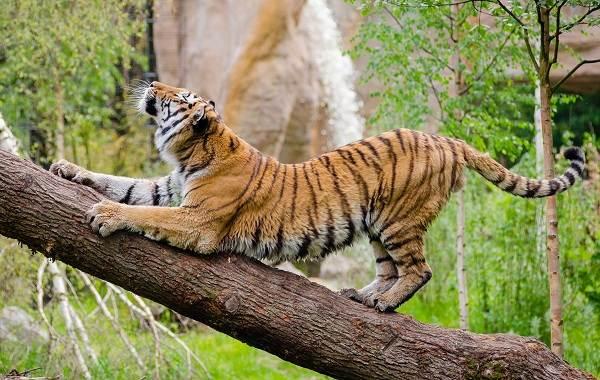 Уссурийский-тигр-Описание-особенности-образ-жизни-и-среда-обитания-хищника-9