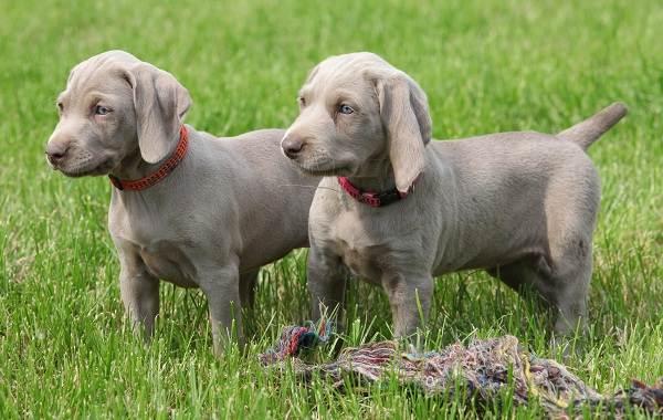 Веймаранер-собака-Описание-особенности-виды-уход-и-цена-породы-веймаранер-10