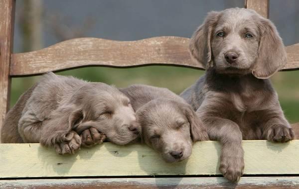 Веймаранер-собака-Описание-особенности-виды-уход-и-цена-породы-веймаранер-12