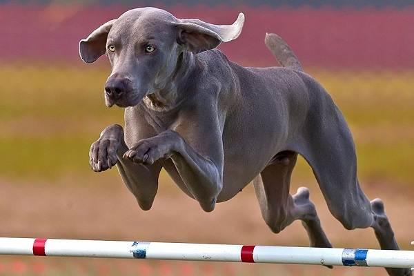 Веймаранер-собака-Описание-особенности-виды-уход-и-цена-породы-веймаранер-14
